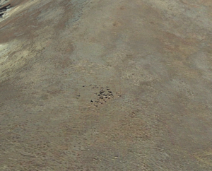 Elk herd seen from google earth